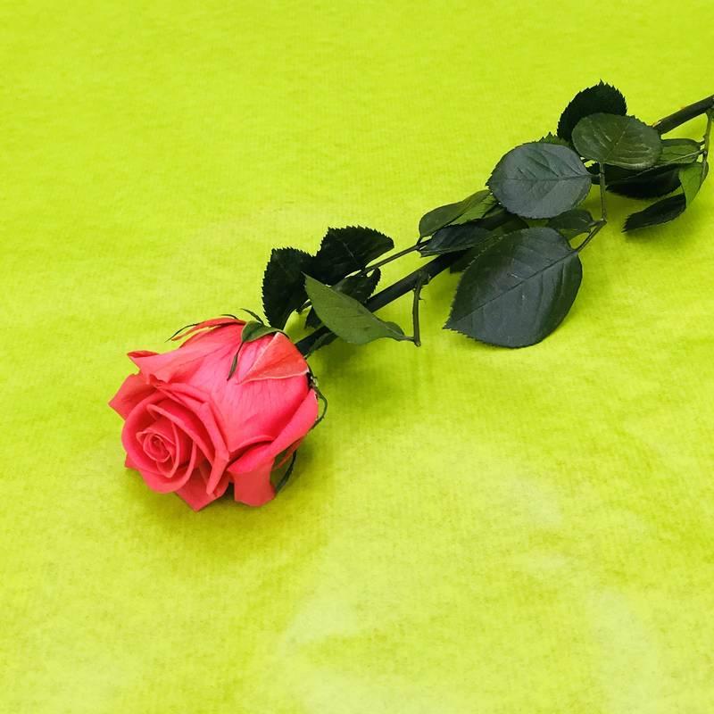 Rose ternelle stabilis e rose fuchsia avec tige 50 - Rose avec tige ...